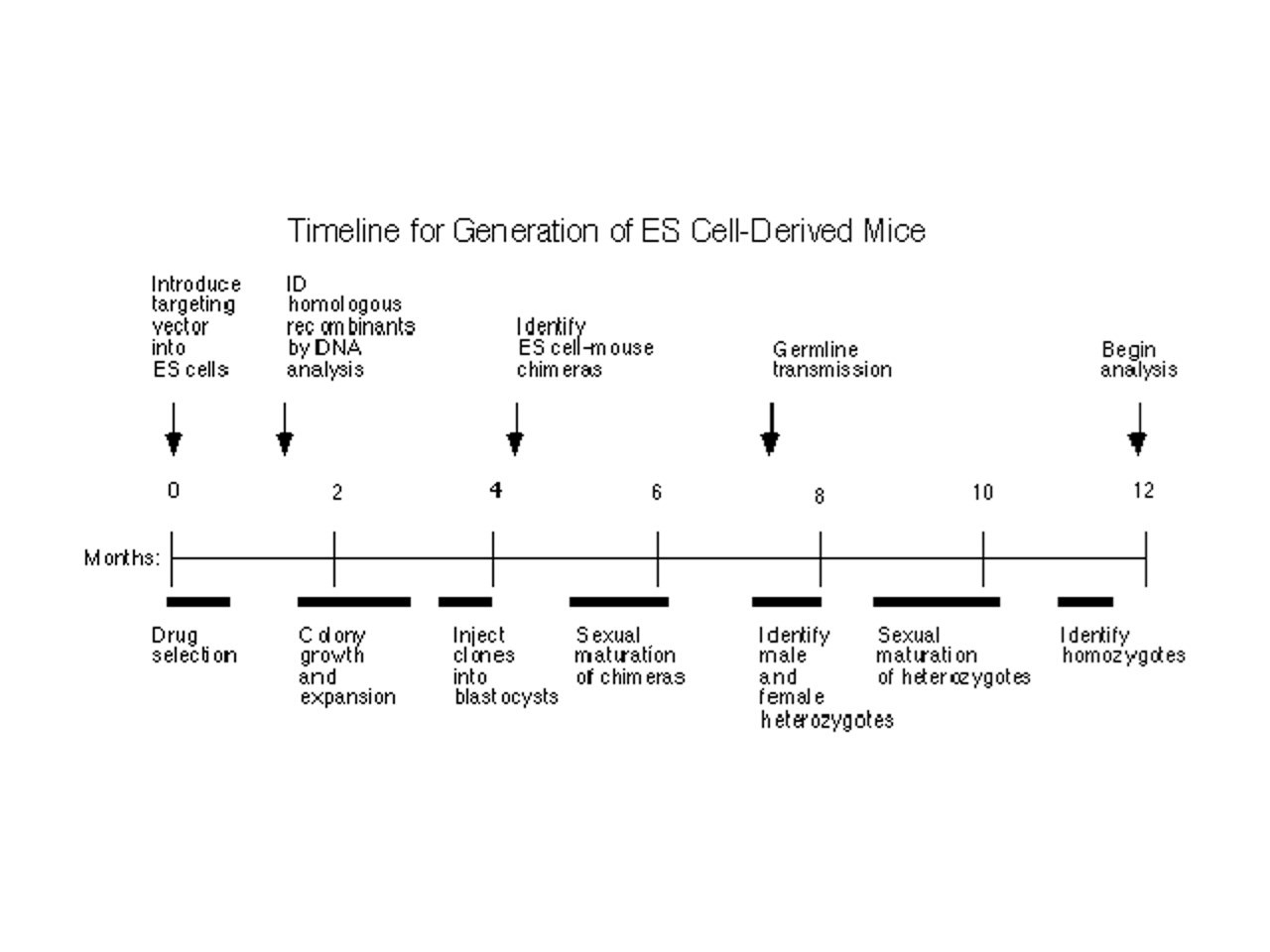 Timeline for generation of ES cell-devided mice