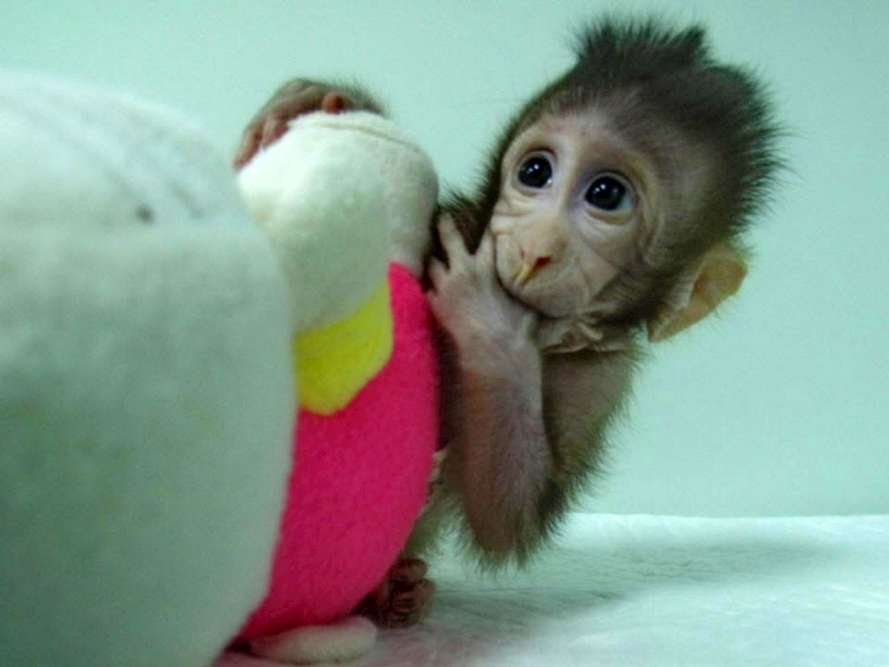 Zhong Zhong, a cloned long tailed macaque monkey