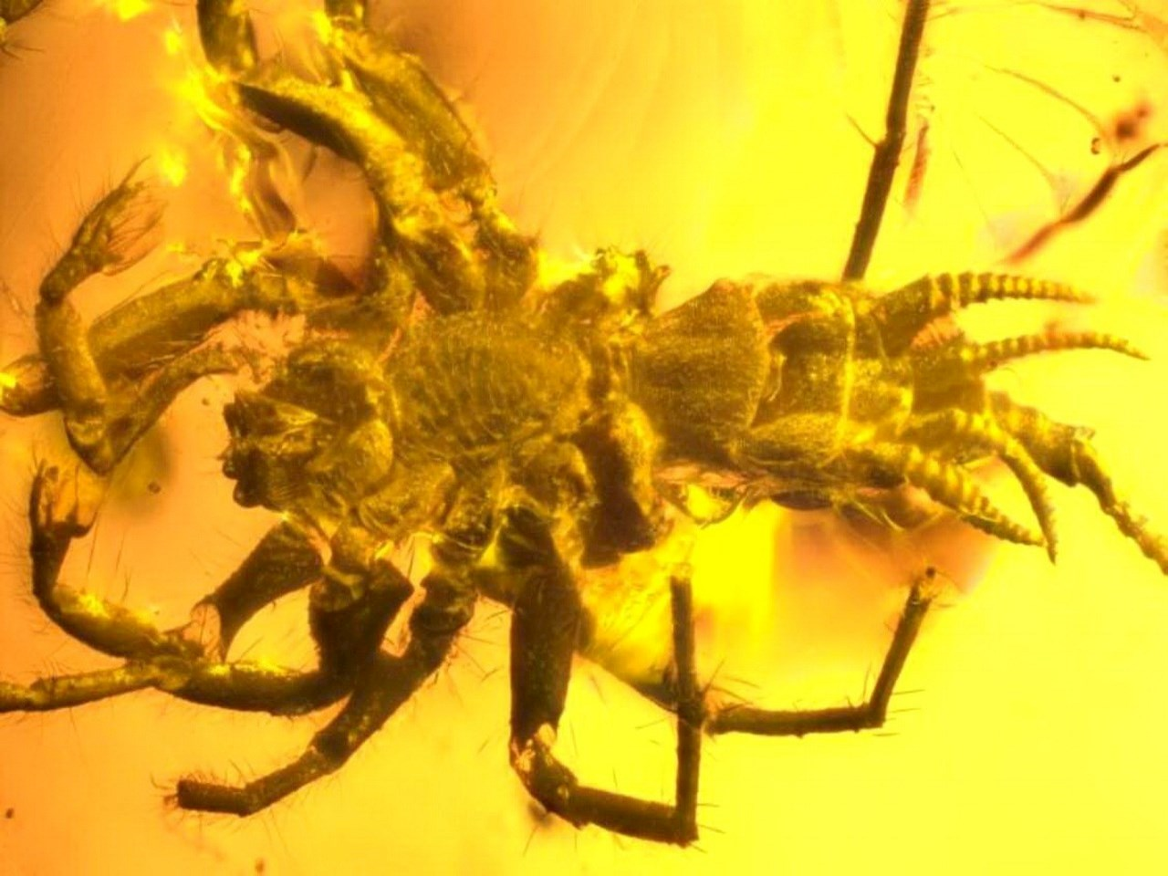 Amber preserved in exquisite detail these 100-million-year-old close relatives to spiders
